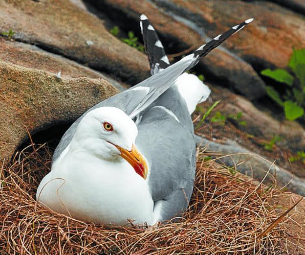 gaviota en el nido